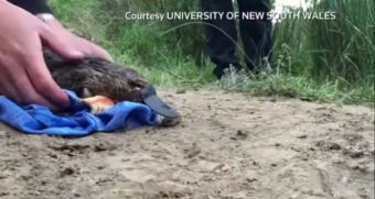 Australia's platypus fights for survival