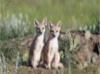 Once Extinct Foxes Are Making A Comeback